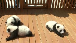 Debiut małych pand. Misie zaprezentowały się zwiedzającym