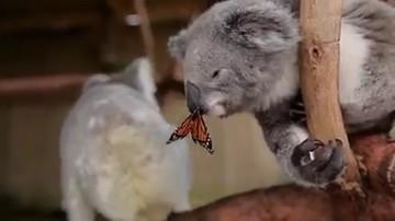 03-10-2016 19:29 Nagrywali misia koalę, ale takiego filmu się nie spodziewali
