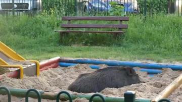 Dzik zasnął w piaskownicy w Dąbrowie Górniczej