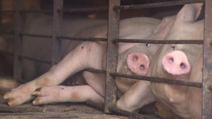 Wykup świń i przerabianie ich na konserwy - zakłada specustawa uchwalona w związku z ASF