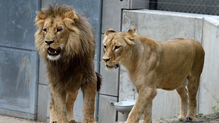 Reprezentanta Walii ugryzł… lew. Może stracić rękę!