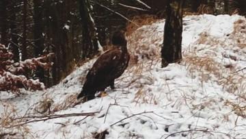 16-01-2017 14:21 Niedożywiony i chory. Leśnicy uratowali bielika