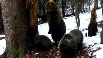 Niedźwiadki podrosły. Leśnicy nagrali poszukiwania nowego zimowiska