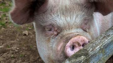 28-12-2015 23:08 Afrykański pomór świń na Ukrainie. 220 km od polskiej granicy