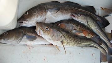 27-09-2016 14:57 Nie możecie łowić dorsza, to łówcie śledzie. KE chce zmniejszyć kwoty połowowe