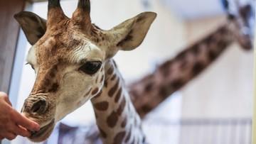 19-02-2016 14:03 Żyrafek z warszawskiego zoo ma już ponad 2 metry. Można mu składać życzenia