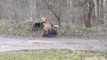 Myśliwy miał pozwolić, by psy rozszarpały żywego jelenia. Interweniowała policja