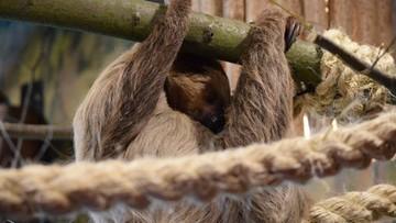 Nowi mieszkańcy zoo w Płocku. To para leniwców