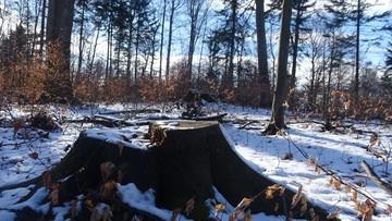 Wycinają pomnikowe drzewa w projektowanym Turnickim Parku Narodowym