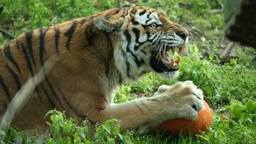 01-05-2016 18:53 Pijani zwiedzający w zoo. Dźgali tygrysy kijem