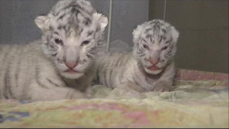 Rozkoszne trojaczki w Jałcie. Na świat przyszły białe tygryski