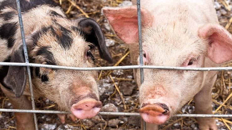 Bez dopłat ani rusz. Polska domaga się od KE ekspresowego wsparcia rynku wieprzowiny