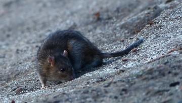 12-08-2016 14:22 Na poznańskiej starówce brakuje prądu. Energetycy obwiniają... szczury