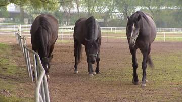 """09-05-2016 13:46 Ważni klienci bojkotują aukcję koni arabskich """"Pride of Poland"""""""