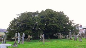02-11-2015 19:48 Najstarsze drzewo w Wielkiej Brytanii zmienia... płeć