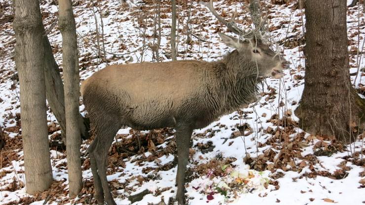 W Zakopanem jeleń zajęty podrzuconymi warzywami nie zwracał uwagi na przechodzących w pobliżu spacerowiczów