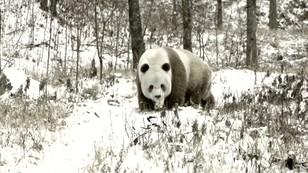 Śnieżne pandy. Mrozy w Chinach dotarły do rezerwatu przyrody