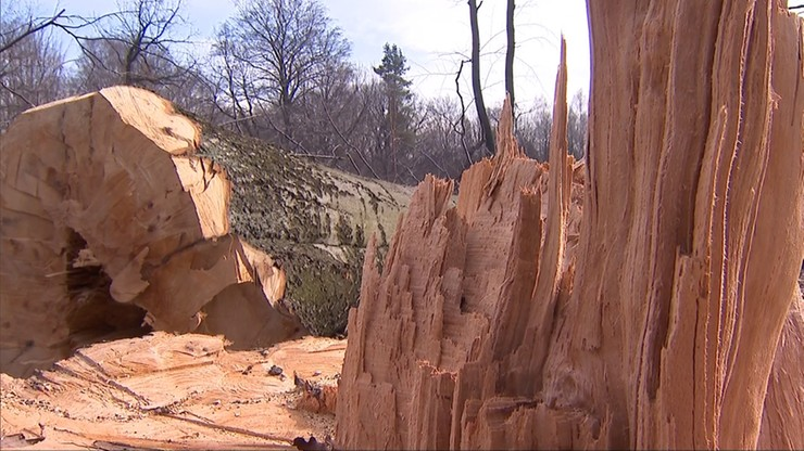 Ponad 1 mln zł kary za nielegalną wycinkę drzew. Zapłaci deweloper
