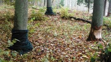 Bobry zaatakowały srokowskie lasy