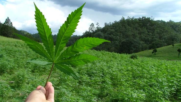 Marihuana medyczna legalna w Kolumbii