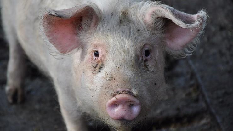 Ukraina wprowadziła zakaz importu świń i wieprzowiny z Mazowsza i Lubelszczyzny