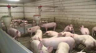 Afrykański pomór świń zbiera żniwo. Coraz więcej zarażonych dzików