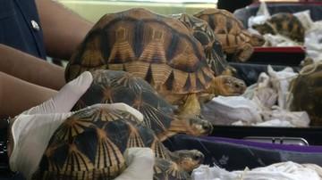 15-05-2017 20:37 Żółwie w walizkach. Udaremniono gigantyczny przemyt