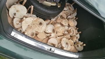 2017-09-16 Bagażnik pełen kań. Udane grzybobranie w Dąbrowie pod Piotrkowem