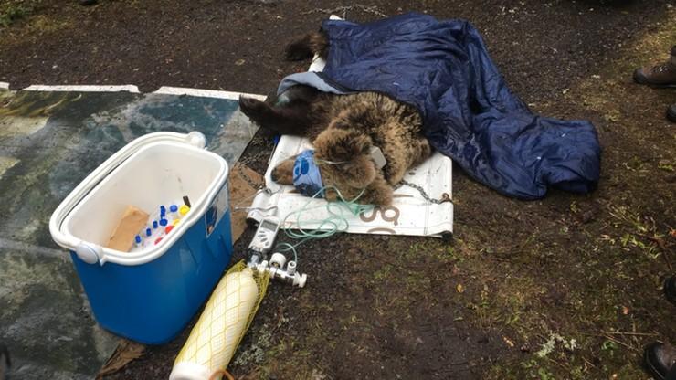 Znana ze zdjęć niedźwiedzica zastrzelona po słowackiej stronie Tatr
