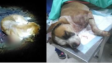 13-12-2016 13:11 Obcięta łapa, uszkodzony kręgosłup. Psa przywiązano do torów. Zdjęcia mają pomóc znaleźć oprawcę