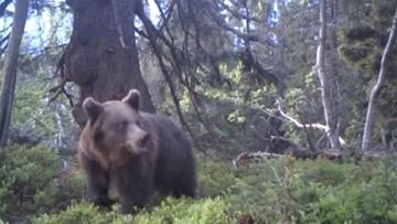 18-06-2016 10:09 Babiogórski niedźwiedź spaceruje po lesie. Nagranie z wideo-pułapki