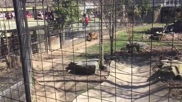 19-04-2016 10:49 Wskoczyła do fosy przy wybiegu tygrysów, by złapać czapkę