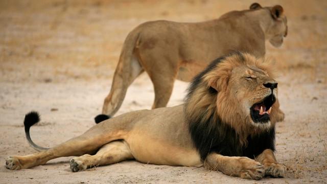 100 tys. Amerykanów chce ekstradycji dentysty-zabójcy lwa. Jest śledztwo w USA
