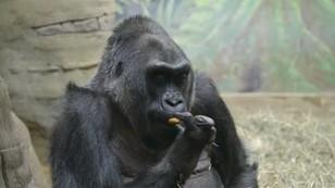 Nie żyje najstarszy goryl świata. Colo miała 60 lat