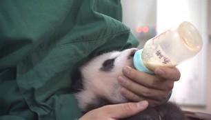 Walczą o życie każdej małej pandy. Opiekunowie przejmują część zadań matki