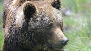18-01-2016 15:23 Babiogórski niedźwiedź jeszcze nie zasnął. Wciąż buszuje w górach