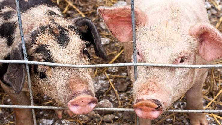 WTO: rosyjski zakaz importu wieprzowiny z Unii jest nielegalny