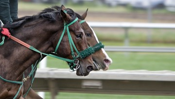 14-03-2016 09:40 Koń w garniturze od znanego projektanta. Tak ubrany ruszy w wyścigach konnych