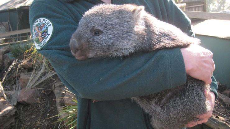 Internauci opłakują ulubionego wombata