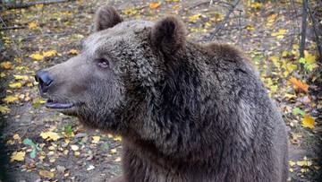 Niedźwiedzica Cisna nadal nielegalnie w zoo, choć ma poparcie dyrekcji ochrony środowiska