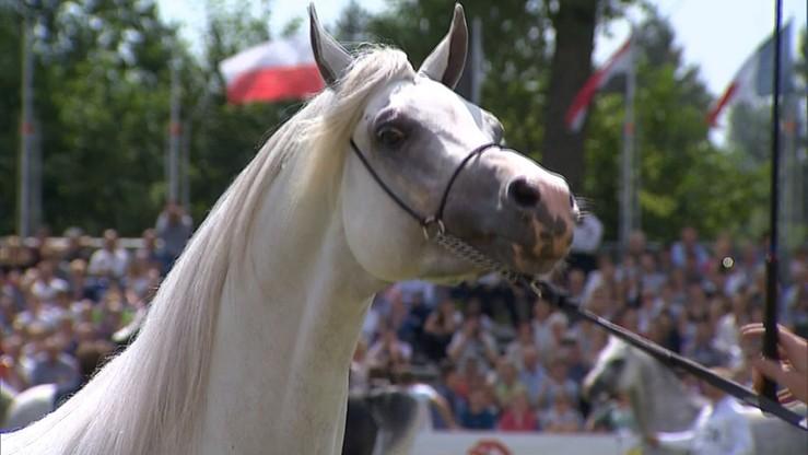 """25 koni arabskich weźmie udział w aukcji Pride of Poland w Janowie Podlaskim. """"Wszystko zależy od tego, z jakimi portfelami przyjadą kupcy"""""""