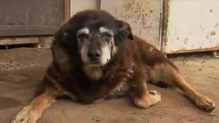Zdechł najstarszy pies na świecie. Meggie miała 30 lat