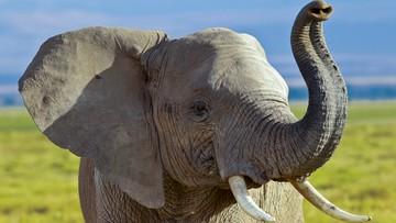 18-11-2017 20:19 Po fali krytyki Trump zawiesza decyzję o zniesieniu zakazu importu trofeów ze słoni