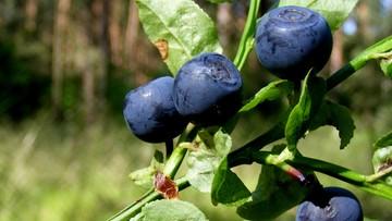 04-07-2016 05:15 Owoce jagodowe z Polski w rynkowej ofensywie