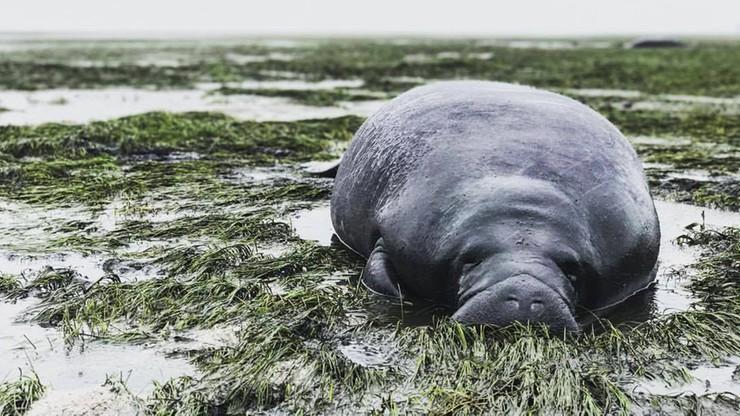 Uratowali manaty wyrzucone na brzeg po przejściu Irmy. Huragan zagroził nie tylko ludziom