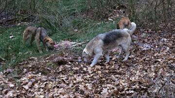 Dzikie psy zabijają zwierzęta i próbują atakować ludzi