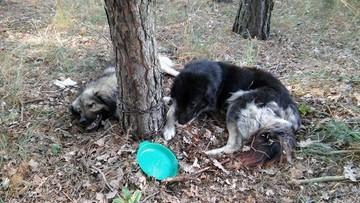 11-09-2016 15:34 Dwa psy na łańcuchu w lesie. Apel o pomoc w ustaleniu właściciela