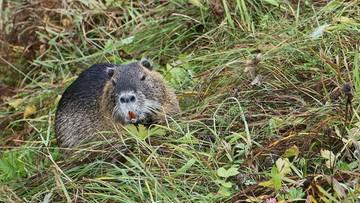 04-11-2015 12:25 Ponad 3 mln zł strat spowodowanych przez bobry na Warmii i Mazurach