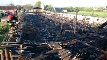 27-05-2017 16:03 Pożar chlewni. Spłonęło 950 prosiąt i 80 macior. Strażacy gasili ogień przez 6 godzin