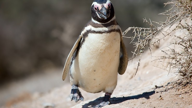 Pingwin pokonuje co roku 8000 km, by spotkać się z Brazylijczykiem, który uratował mu życie
